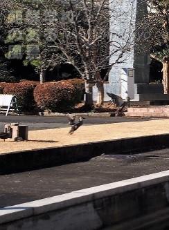 朝鮮大学校の人工池で繁殖したカルガモ